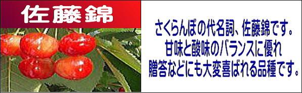 サクランボ狩り,佐藤錦,さくらんぼの代名詞、佐藤錦です。甘味と酸味のバランスに優れ、贈答などにも大変喜ばれる品種です。
