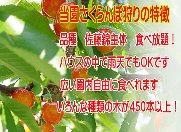福島のさくらんぼ狩り,佐藤錦や紅秀峰食べ放題です。450本以上。雨よけハウスの中なので雨天でも大乗です。